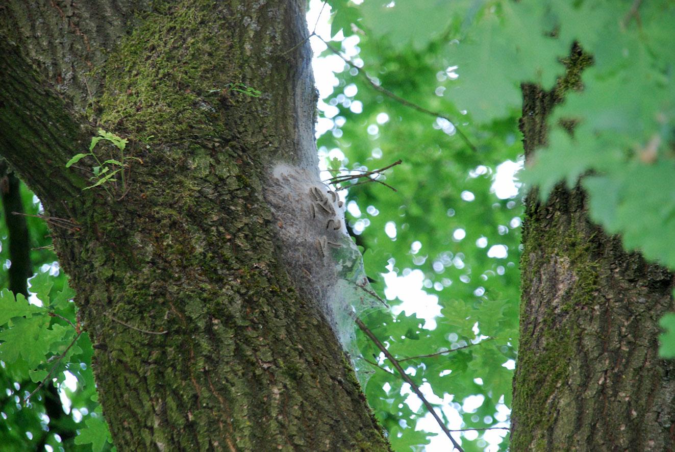 Eines der gefährlichen Nester des Eichenprozessionsspinners hoch oben in der Astgabel am Vereinsheim